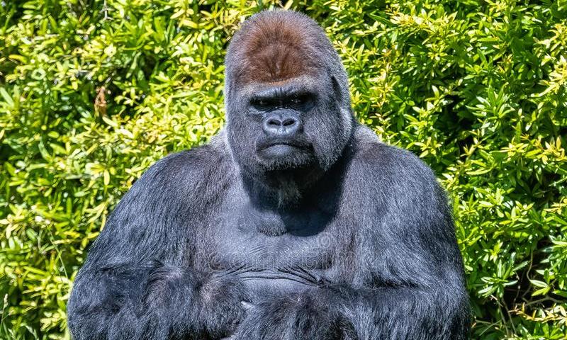 Pensavo fosse una scimmietta ed invece trattasi di gorilla! (omaggio ad Arsenico17)